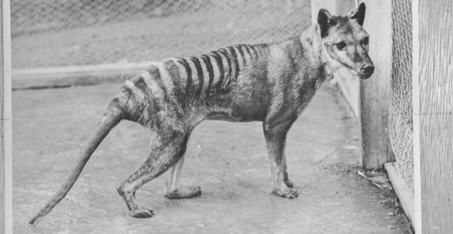 Hé lộ thông tin chưa từng được biết đến ở hổ Tasmania - 1