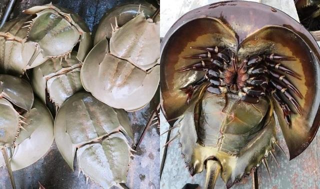Bọ biển khổng lồ 1 triệu đồng/ đôi, đặc sản lạ hút khách sành ăn - 1