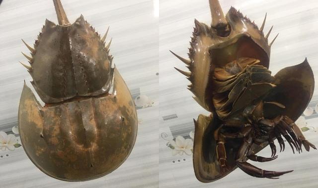 Bọ biển khổng lồ 1 triệu đồng/ đôi, đặc sản lạ hút khách sành ăn - 2
