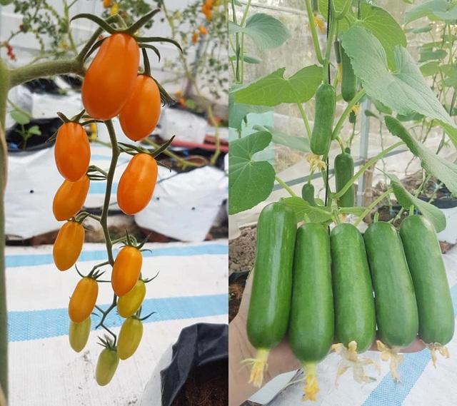 Vườn dưa lưới toàn trái khủng của nữ nhân viên văn phòng ở Kiên Giang - 1