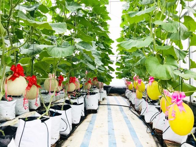 Vườn dưa lưới toàn trái khủng của nữ nhân viên văn phòng ở Kiên Giang - 2