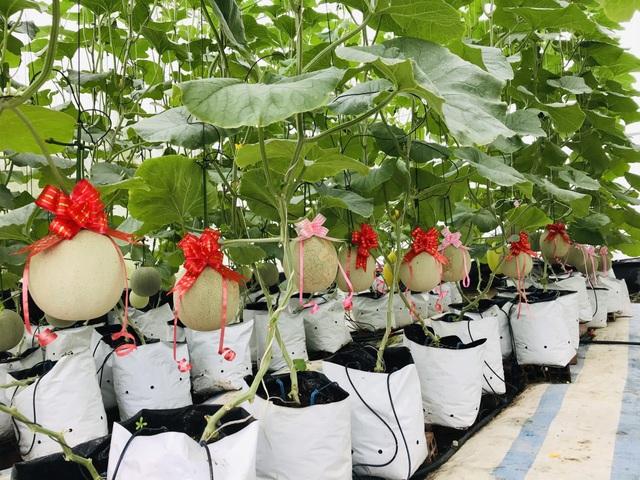 Vườn dưa lưới toàn trái khủng của nữ nhân viên văn phòng ở Kiên Giang - 3