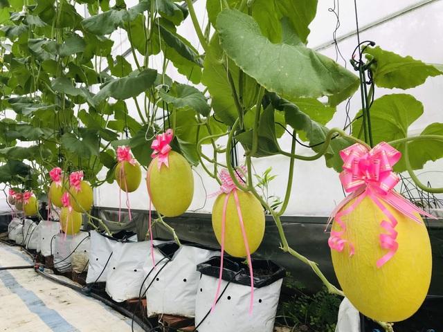 Vườn dưa lưới toàn trái khủng của nữ nhân viên văn phòng ở Kiên Giang - 5