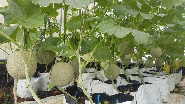 Vườn dưa lưới toàn trái khủng của nữ nhân viên văn phòng ở Kiên Giang - 6