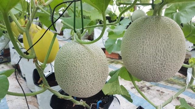 Vườn dưa lưới toàn trái khủng của nữ nhân viên văn phòng ở Kiên Giang - 7