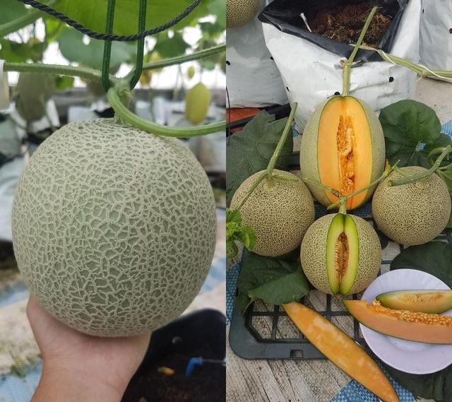 Vườn dưa lưới toàn trái khủng của nữ nhân viên văn phòng ở Kiên Giang - 9