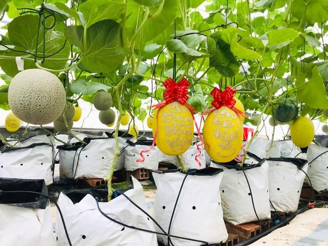 Vườn dưa lưới toàn trái khủng của nữ nhân viên văn phòng ở Kiên Giang - 10