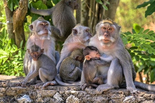 Những con khỉ có sở thích cướp đồ đắt tiền để vòi vĩnh phần ăn nhiều hơn - 1