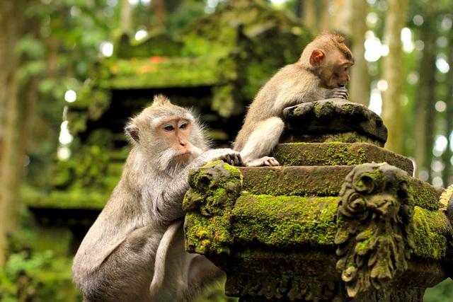 Những con khỉ có sở thích cướp đồ đắt tiền để vòi vĩnh phần ăn nhiều hơn - 2