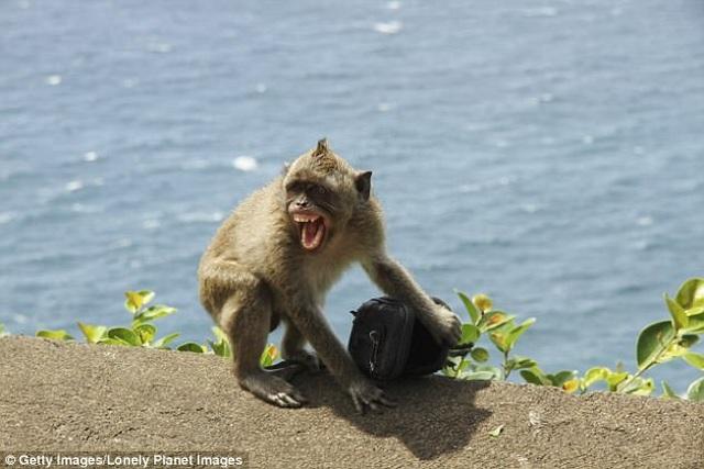 Những con khỉ có sở thích cướp đồ đắt tiền để vòi vĩnh phần ăn nhiều hơn - 3