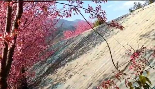 Cũng theo thầy Nguyễn Quốc Trí, sau khi hoa kết thúc thì những trái đào bắt đầu lớn. Tuy nhiên, quả của loại hoa anh đào này nhỏ như quả nho. Quả đến khi chín có màu đen.