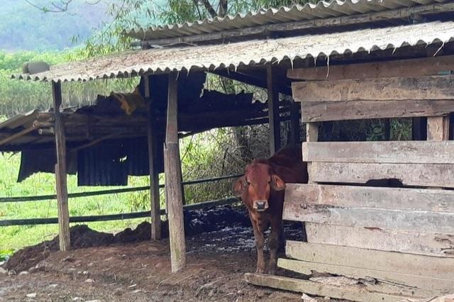 Cấp tốc lập đoàn kiểm tra hơn 900 con gia súc bị chết - 1