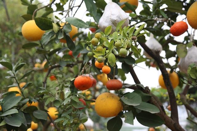 Cận Tết, lão nông thu hàng trăm triệu đồng nhờ cây có 7 thứ quả khác nhau - 8