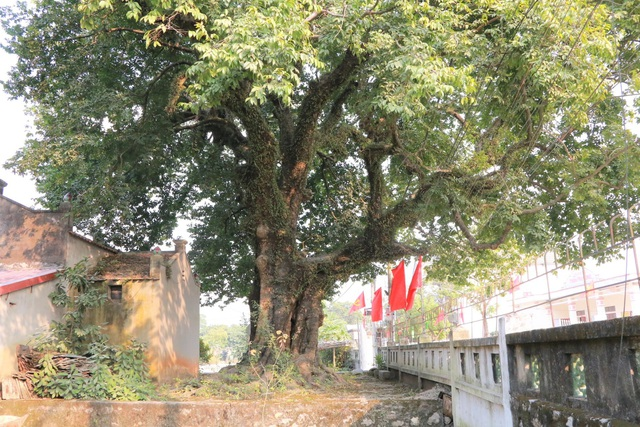 Cụ thị gốc chục người ôm không xuể sống qua 8 thế kỷ ở Ninh Bình - 1