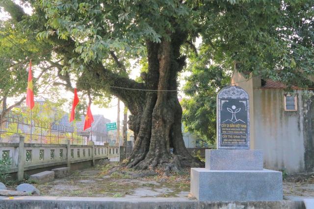 Cụ thị gốc chục người ôm không xuể sống qua 8 thế kỷ ở Ninh Bình - 2