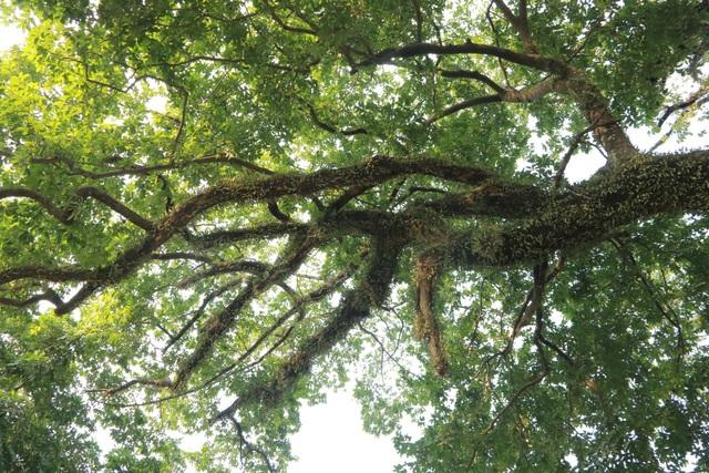 Cụ thị gốc chục người ôm không xuể sống qua 8 thế kỷ ở Ninh Bình - 7