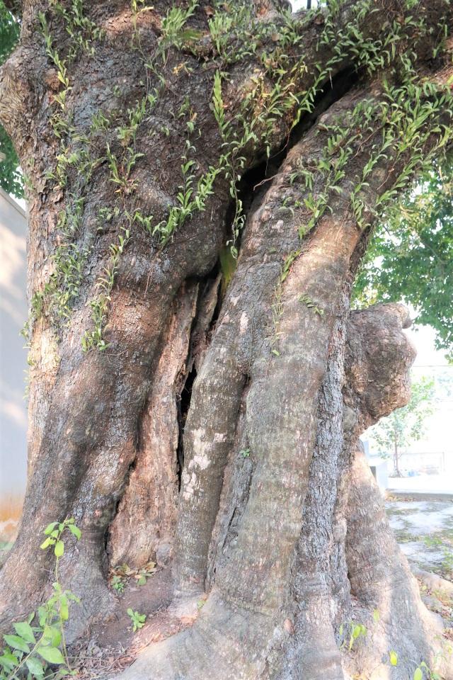 Cụ thị gốc chục người ôm không xuể sống qua 8 thế kỷ ở Ninh Bình - 4