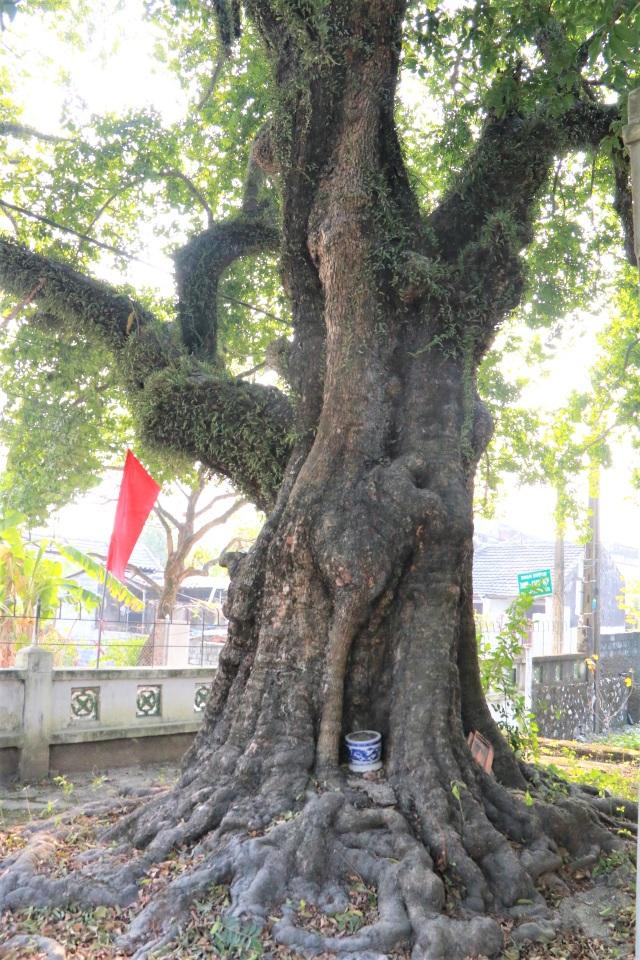 Cụ thị gốc chục người ôm không xuể sống qua 8 thế kỷ ở Ninh Bình - 3