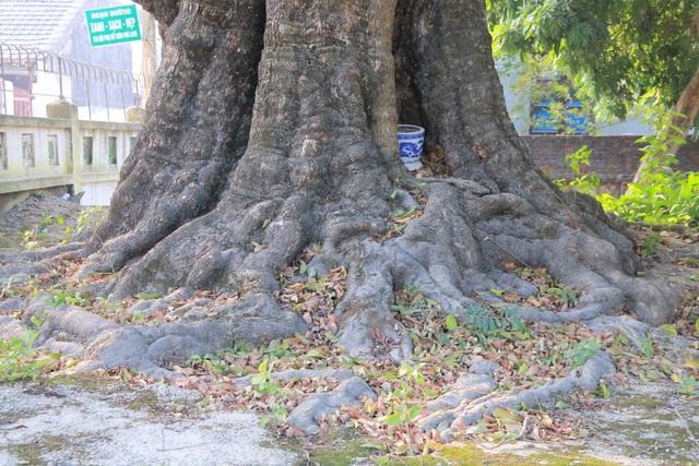 Cụ thị gốc chục người ôm không xuể sống qua 8 thế kỷ ở Ninh Bình - 5