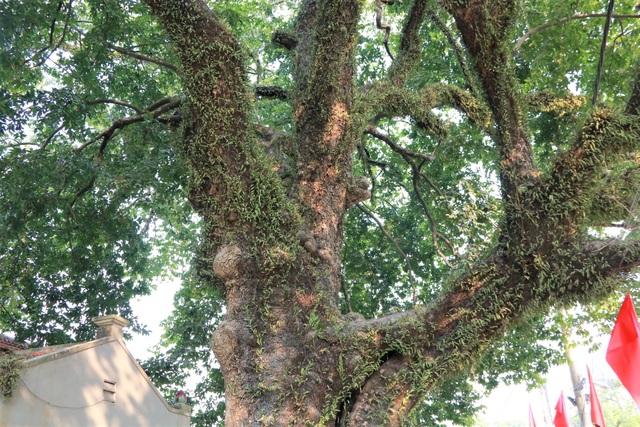 Cụ thị gốc chục người ôm không xuể sống qua 8 thế kỷ ở Ninh Bình - 6