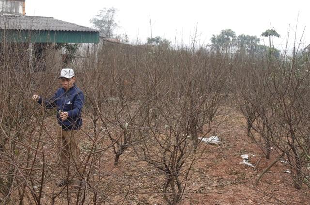 Người trồng đào phấn khởi vì thời tiết hứa hẹn vụ Tết ấm - 4