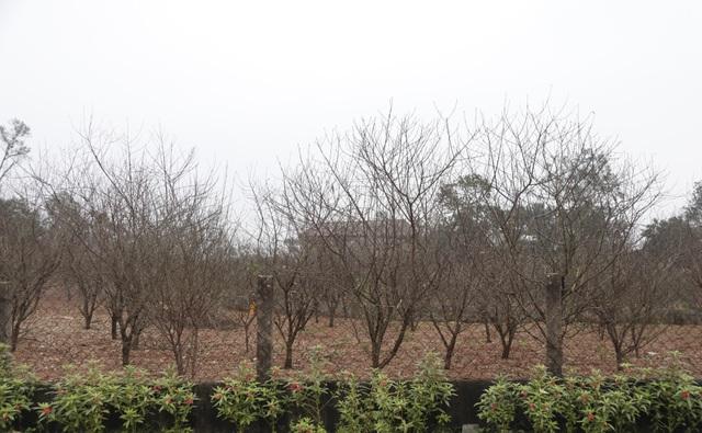 Người trồng đào phấn khởi vì thời tiết hứa hẹn vụ Tết ấm - 1