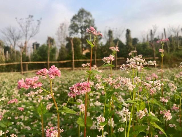 Hoa tam giác mạch, cúc họa mi khoe sắc trên Tây Nguyên - 4