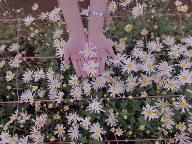 Hoa tam giác mạch, cúc họa mi khoe sắc trên Tây Nguyên - 8