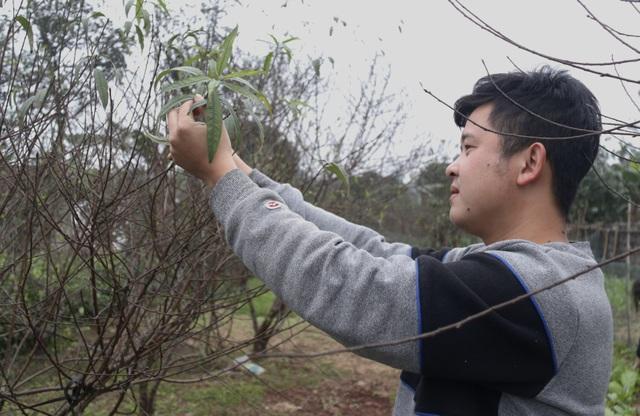 Người trồng đào phấn khởi vì thời tiết hứa hẹn vụ Tết ấm - 2