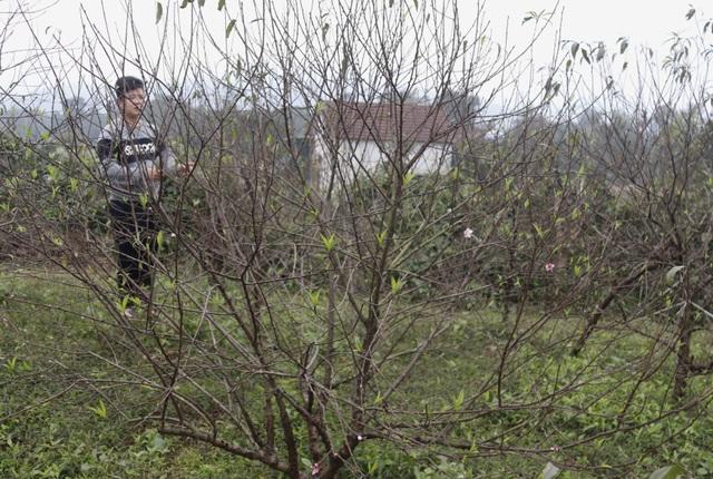 Người trồng đào phấn khởi vì thời tiết hứa hẹn vụ Tết ấm - 8