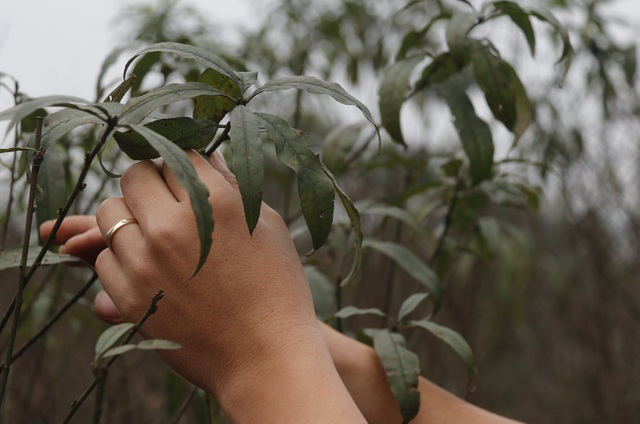 Người trồng đào phấn khởi vì thời tiết hứa hẹn vụ Tết ấm - 3