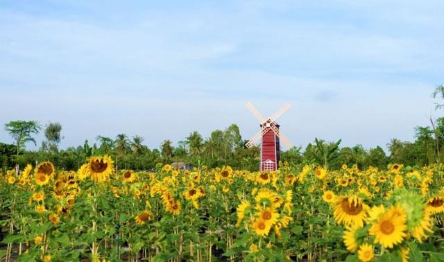 Vườn hoa hướng dương lớn nhất TP Sa Đéc mê hoặc người dân miền Tây - 2