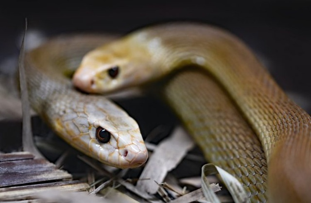 Người đàn ông dành 72 giờ chung sống với 72 con rắn kịch độc - 1