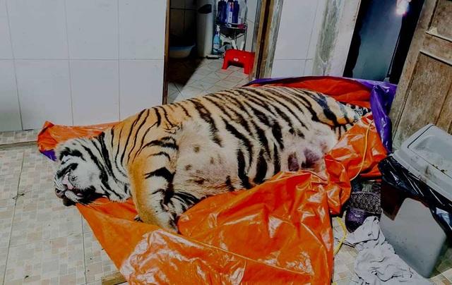 Hổ nặng 250kg nằm bất động: Chủ nhà khai mua để nấu cao - 2