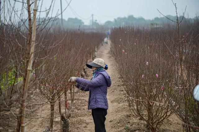 Cảnh hối hả bên trong thủ phủ hoa đào lớn nhất miền Bắc - 6