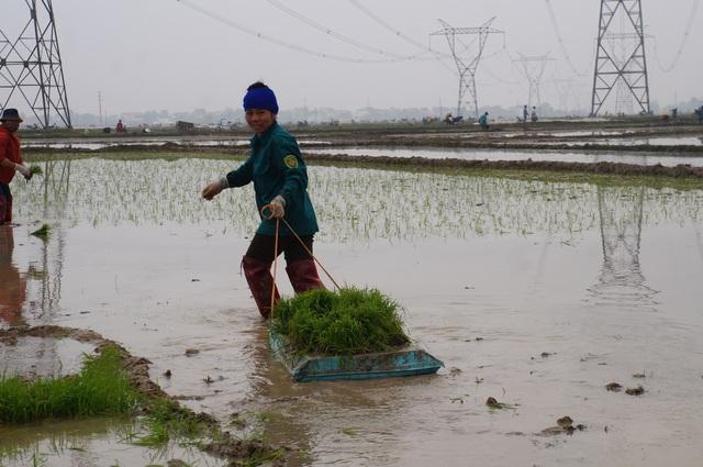 Giáp Tết, kiếm 300 nghìn đồng/ngày từ đi cấy lúa thuê - 4