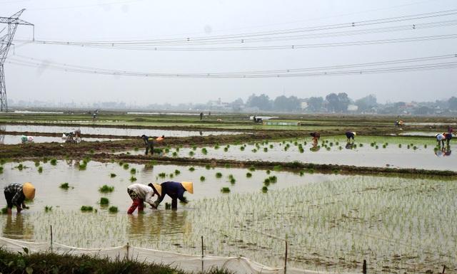 Giáp Tết, kiếm 300 nghìn đồng/ngày từ đi cấy lúa thuê - 1