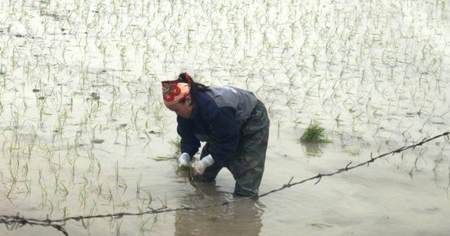Giáp Tết, kiếm 300 nghìn đồng/ngày từ đi cấy lúa thuê - 6