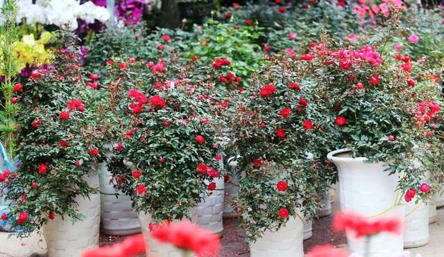 Những chậu hoa hồng giá rẻ hút người mua dịp cận Tết - 2