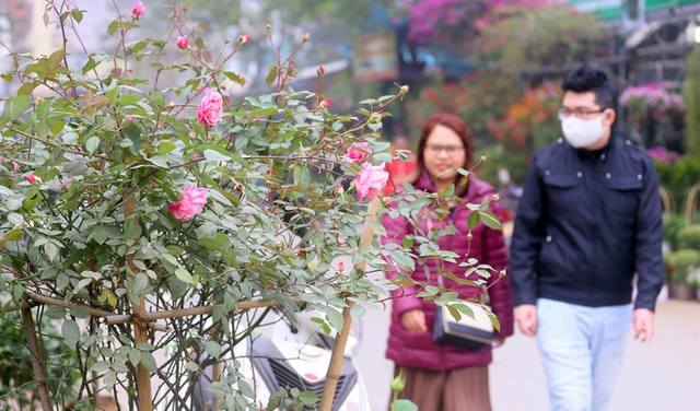 Những chậu hoa hồng giá rẻ hút người mua dịp cận Tết - 3