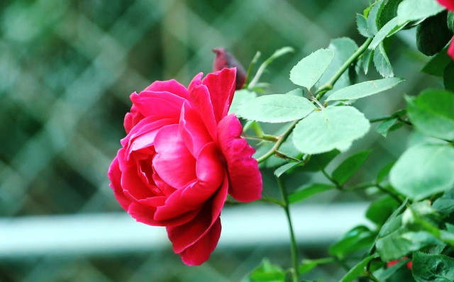Những chậu hoa hồng giá rẻ hút người mua dịp cận Tết - 7