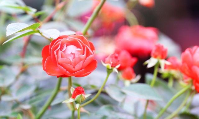 Những chậu hoa hồng giá rẻ hút người mua dịp cận Tết - 8