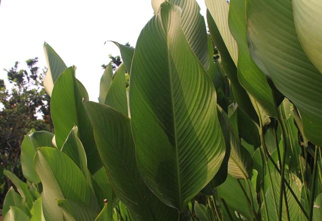 Hồ hởi thu hoạch ngọc xanh, dân Hà Nội kiếm tiền triệu mỗi ngày dịp Tết - 8