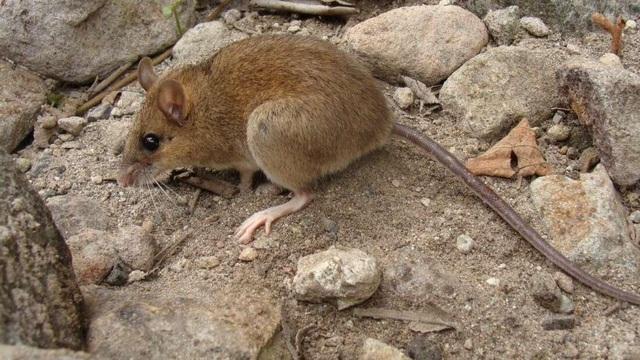 Phát hiện loài chuột sống sót kỳ diệu sau vụ phun trào núi lửa khủng khiếp - 1
