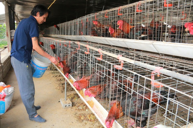 Giáp Tết, anh nông dân nuôi gà chân Voi đút túi trăm triệu đồng - 1