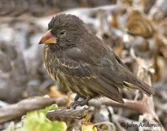 Kỳ lạ loài chim sẻ thích uống máu những con chim biển lớn - 3