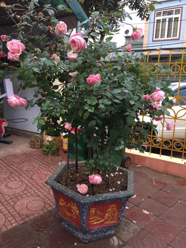 Chán đào quất, nhiều người dân mua hoa hồng cổ Sa Pa chơi Tết - 6