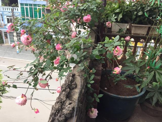 Chán đào quất, nhiều người dân mua hoa hồng cổ Sa Pa chơi Tết - 5