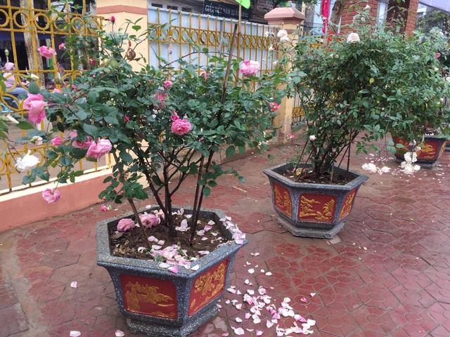 Chán đào quất, nhiều người dân mua hoa hồng cổ Sa Pa chơi Tết - 2