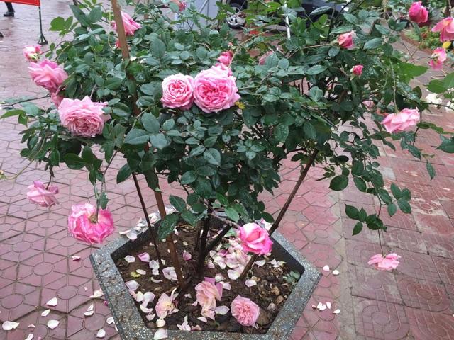Chán đào quất, nhiều người dân mua hoa hồng cổ Sa Pa chơi Tết - 7
